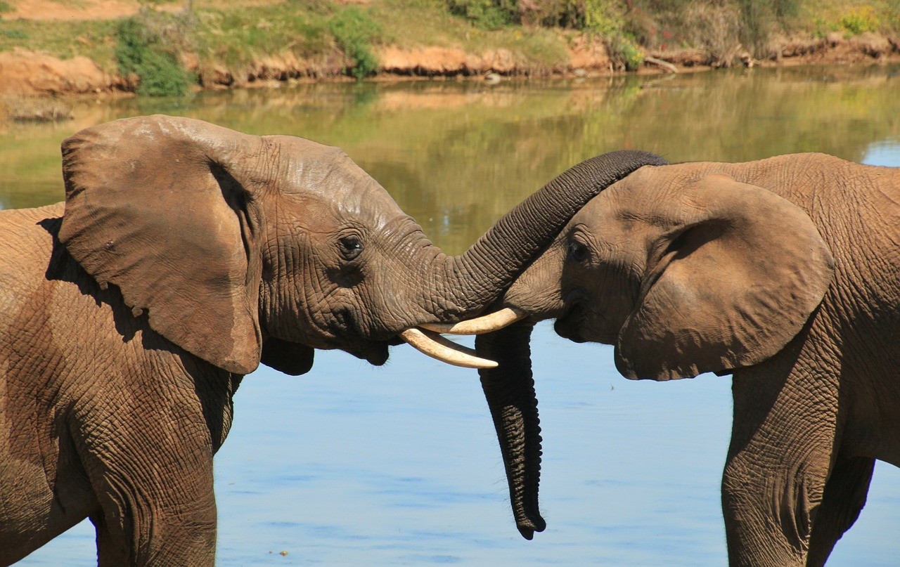 f51bbc96a New Campaign Calls on Japan to End Ivory Trade - The Planetary Press